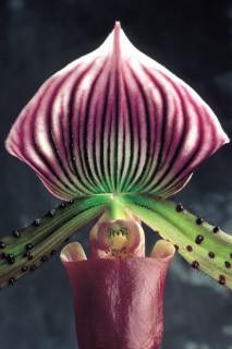 Phalaenopsis-I-CloseUp