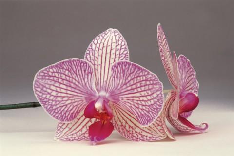 Phalaenopsis-II
