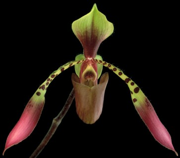 Color Botanicals - Phalaenopsis-III