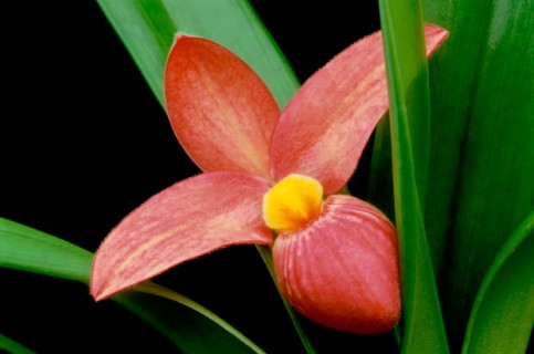 Phragmepedium