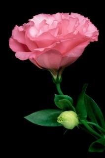 Pink-Lisianthius