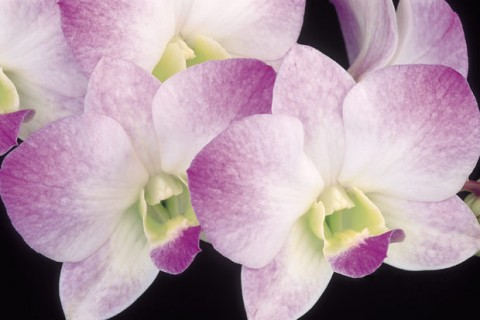 Pink-and-White-Dendrobium