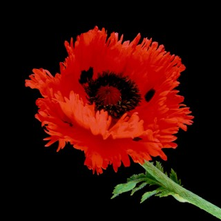 Color Botanicals - Poppy I