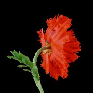 Poppy-II