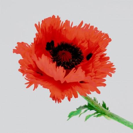 Poppy-III