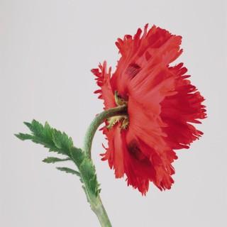 Poppy-IV