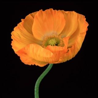 Color Botanicals - Poppy-V