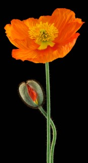 Poppy-with-Bud