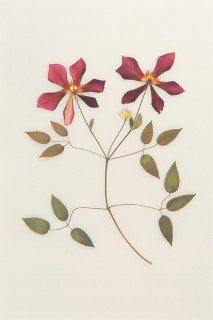 Pressed-Clematis