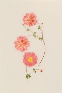 Pressed-Oriental-Anemone