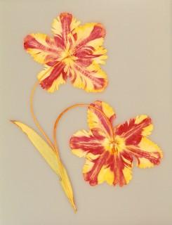 Pressed-Parrot-Tulip