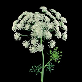 Color Botanicals - Queen Annes Lace
