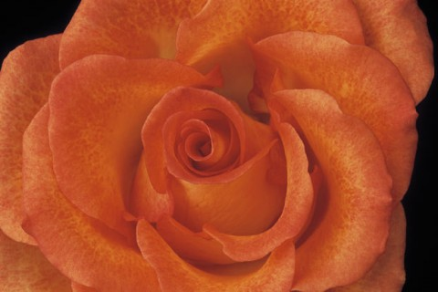 Color Botanicals - Rose