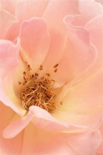Rose-II