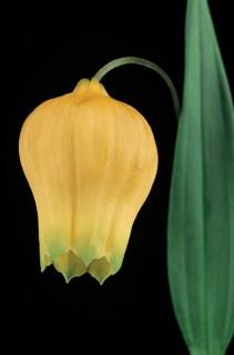 Color Botanicals - Sandersonia