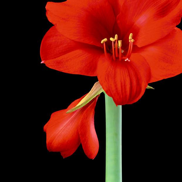 Scarlet-Amaryllis-III