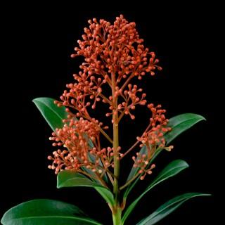 Color Botanicals - Skimmia