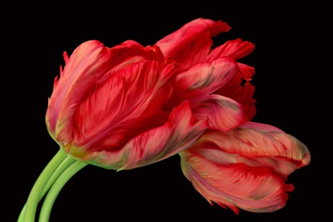Three-Tulips-IV