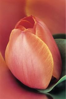 Tulip-Bud