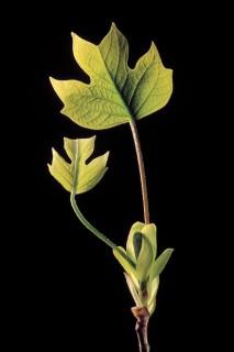 Tulip-Poplar-Spring-darker