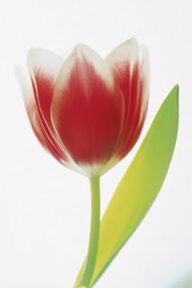 Tulip-on-White