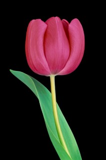Color Botanicals - Tulip-with-Leaf-II