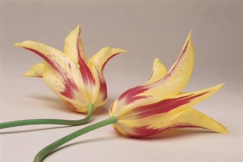 Tulips-ML