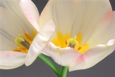 Color Botanicals - Two-Tulips-I