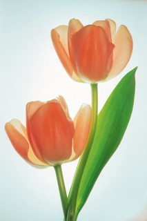 Two-Tulips-III