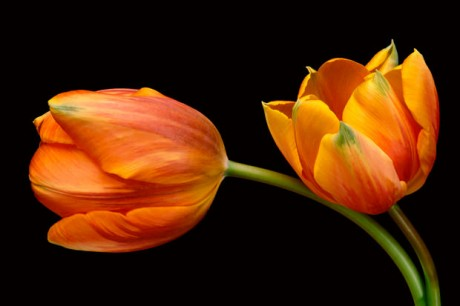 Color Botanicals - Two Tulips IV