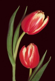 Two-Tulips-V