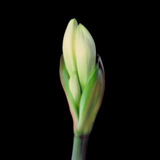 White-Amaryllis-I