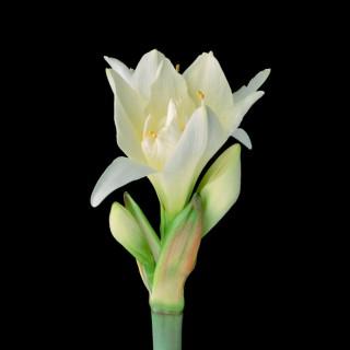 White-Amaryllis-II