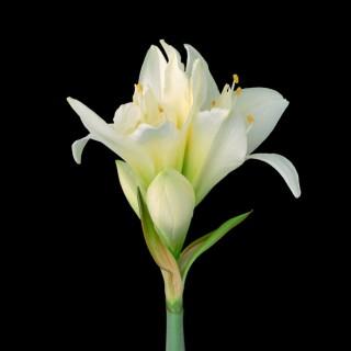 White-Amaryllis-III