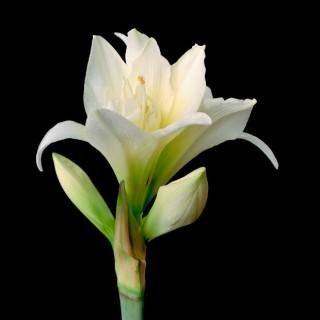 White-Amaryllis-IV