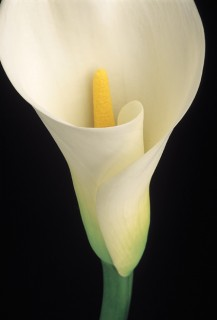 Color Botanicals - White Calla
