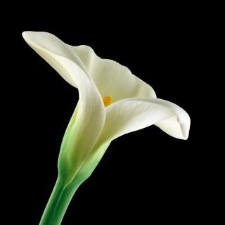 White-Calla-IV