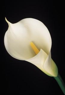 White-Calla-Lily