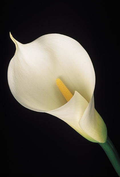 White Calla Lily Amy Lamb Studio Llc