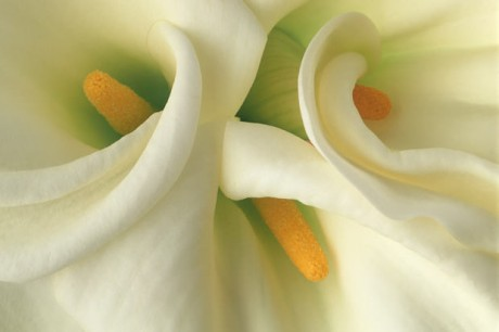 Color Botanicals- White Callas Close-Up