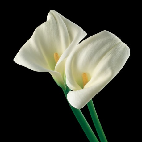 Color Botanicals - White Callas Lilies