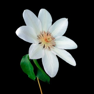 White-Clematis-II