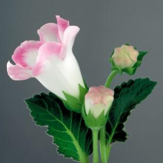 White-Gloxinia