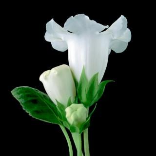 White-Gloxinia-I