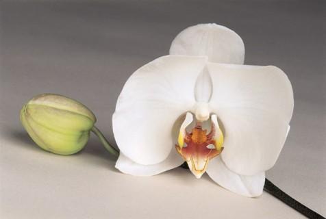 White-Phalaenopsis