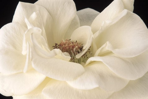Color Botanicals - White-Rose-I