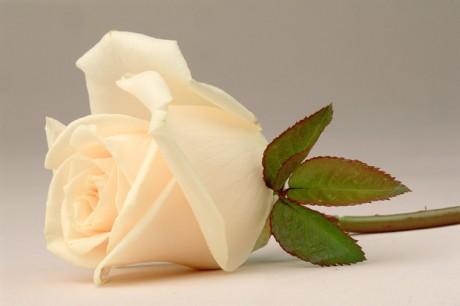 Color Botanicals - White Rose III