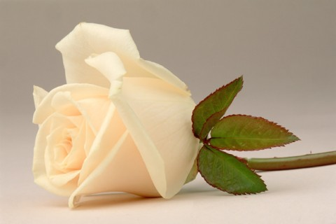 Color Botanicals - White Rose III