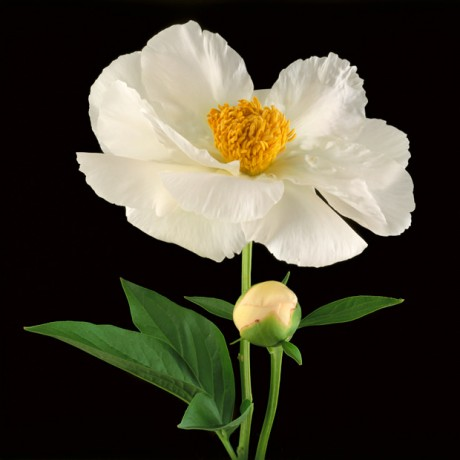 Color Botanicals - White Tree Peony