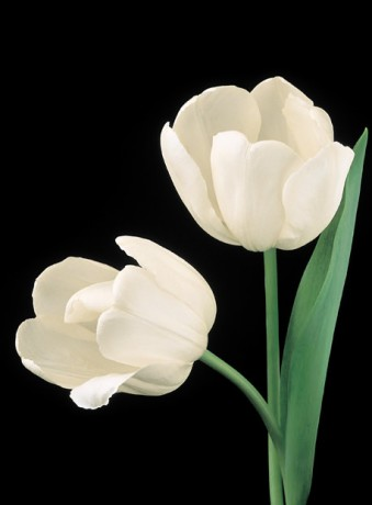 Color Botanicals - White Tulips
